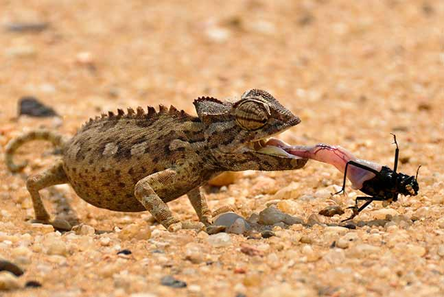 Gecko eating a beetle